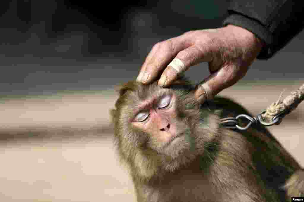 Дрессировщикам приходится проявлять большую изобретательность в обучении обезьян