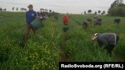 Украинские рабочие собирают клубнику в Польше