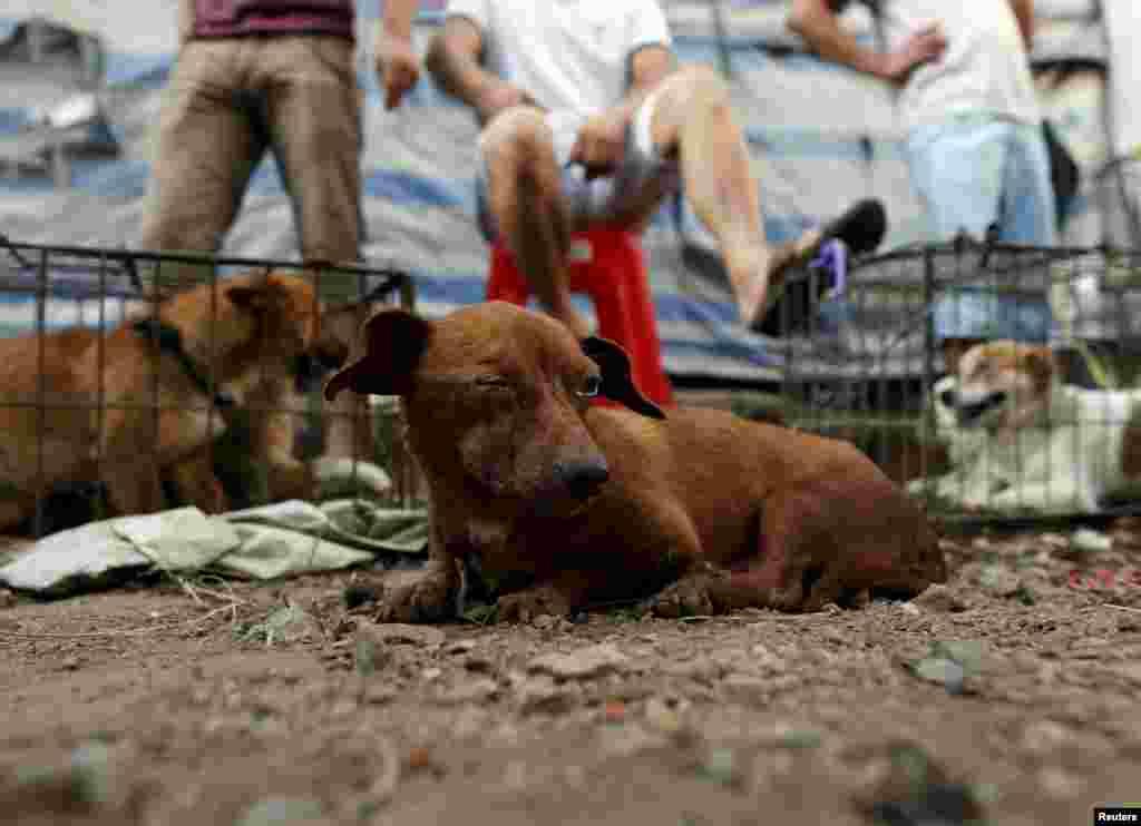 Посетители фестиваля могут купить живую собаку в качестве питомца или в качестве будущего деликатеса