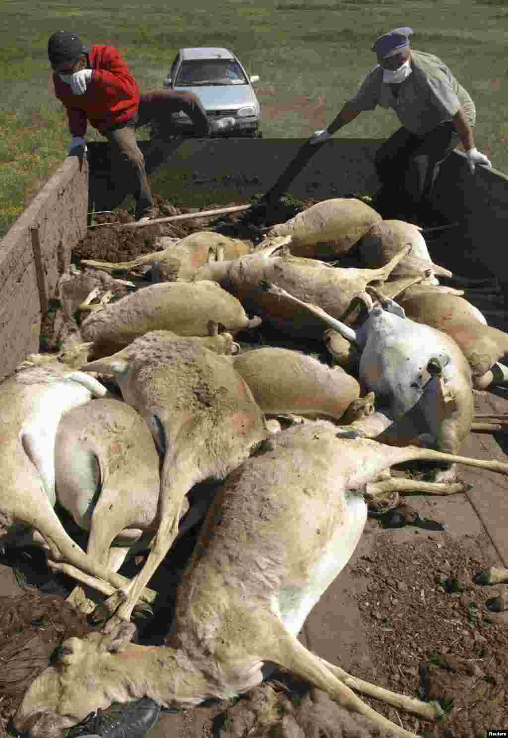 Туши умерших сайгаков в кузове машины. Западно-Казахстанская область, май 2010 года