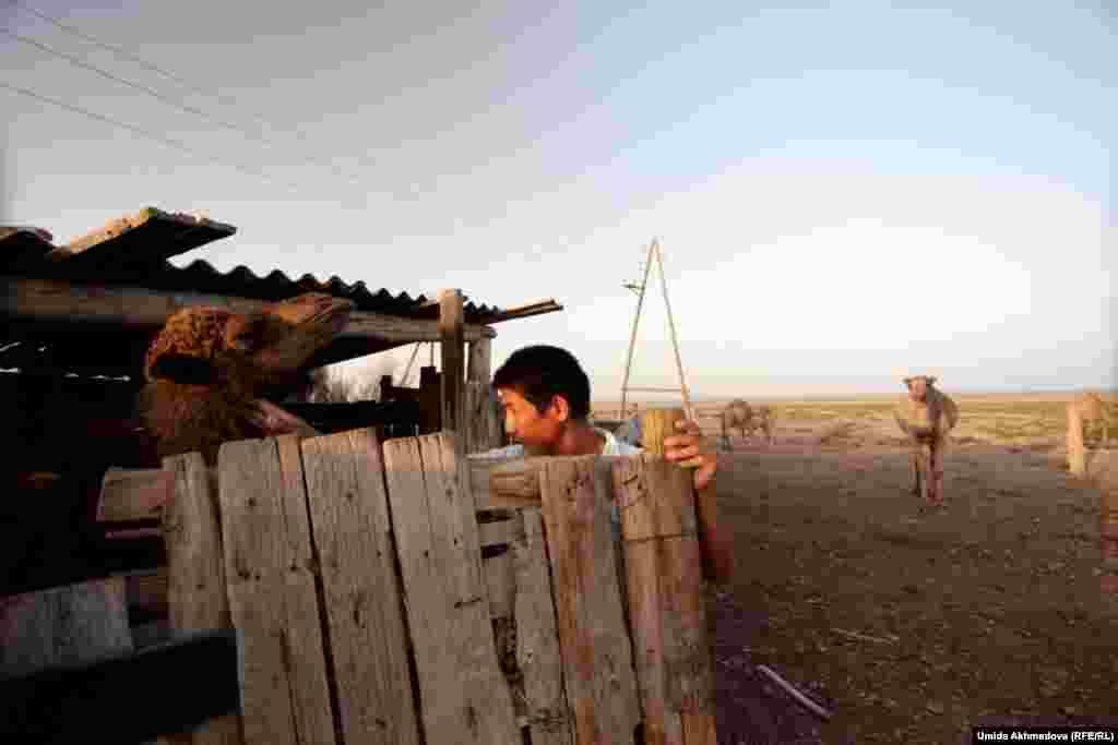 Подросток выводит из загона верблюда-двухлетку. С каждым годом число казахов, которые занимаются животноводством в Тамдынском районе Навоийской области, сокращается. Местные жители говорят, что казахи уезжают на историческую родину.
