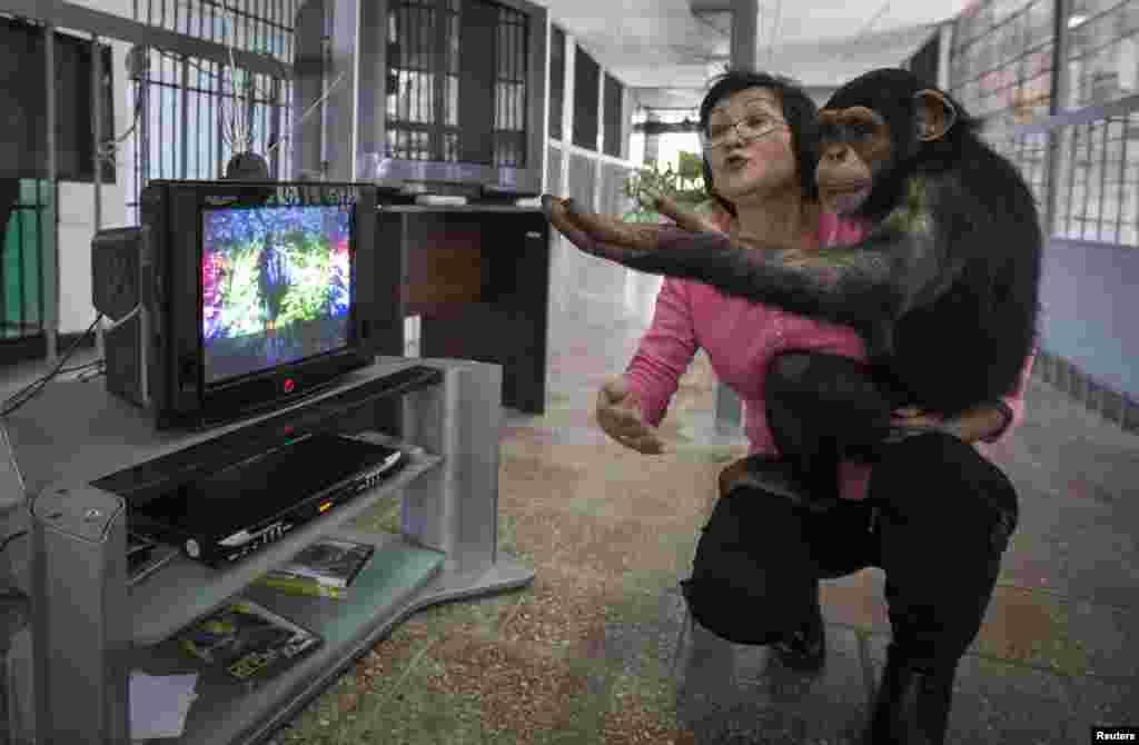 Сотрудница зоопарка в Алма-Ате с пятилетним шимпанзе