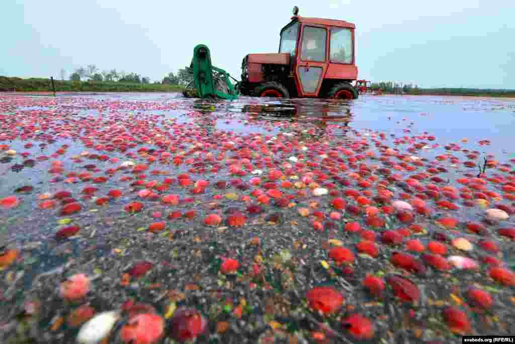 Подобным способом, на специальных плантациях (чеках), клюква сXIX века выращивается в промышленных количествах