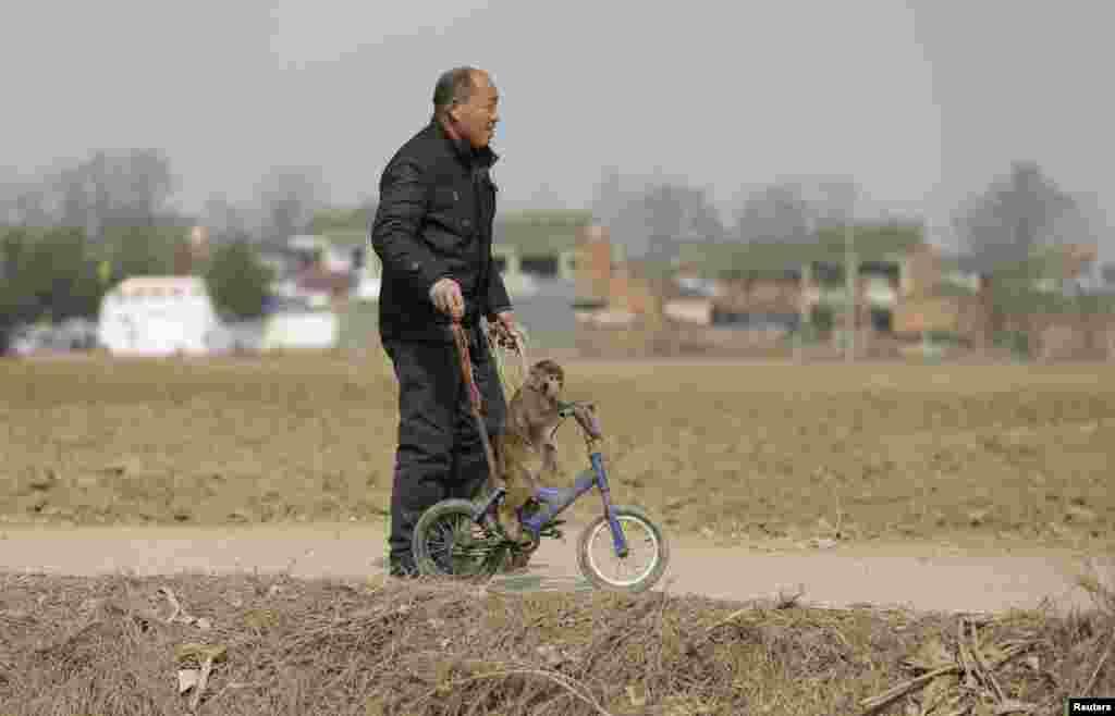 Разведение обезьян без специального разрешения в Китае вне закона, но на жителей деревни Баовань эта норма не распространяется