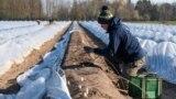 Сезонный рабочий на французской ферме, где выращивают спаржу