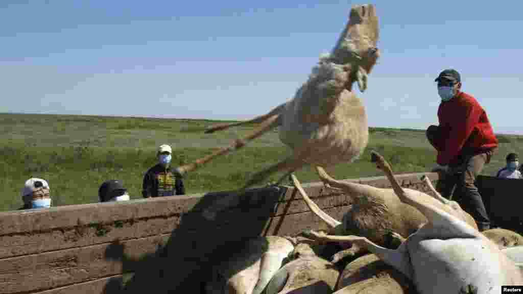 Мужчины кидают в кузов машины туши погибших сайгаков. Западно-Казахстанская область, 22 мая 2010 года