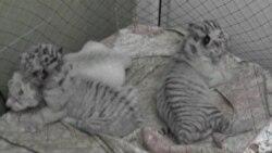 Бенгальских тигрят в Ялте отдали в детский сад