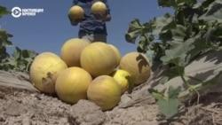 в Таджикистане собирают урожай арбузов и дынь