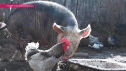 ЧС в Нижегородской области: зачем губернатор потребовал зарезать всех свиней в районе?