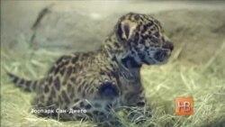 В зоопарке Сан-Диего родился детеныш ягуара