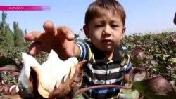 В Кыргызстане заканчивается сезон сбора хлопка
