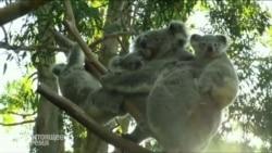 """Коала """"усыновила"""" двух детенышей в австралийском национальном парке"""