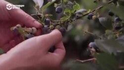 Фермеры в Балтии требуют вернуть им гастарбайтеров: некому собирать урожай