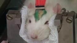 Российские ученые выращивают крыс-ищеек