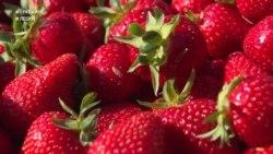 #ВУкраине: как выращивают ягоду в клубничной столице Украины