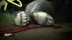 В Хабаровске проверяют законность убийства медведя полицейскими