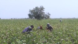 Закупочная цена на хлопок в Таджикистане упала на 30%